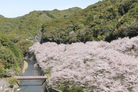 島之瀬ダムの桜 ソメイヨシノ
