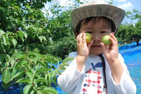 梅の収穫体験