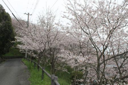 猪之山公園(猪之山観音)の桜 ソメイヨシノ